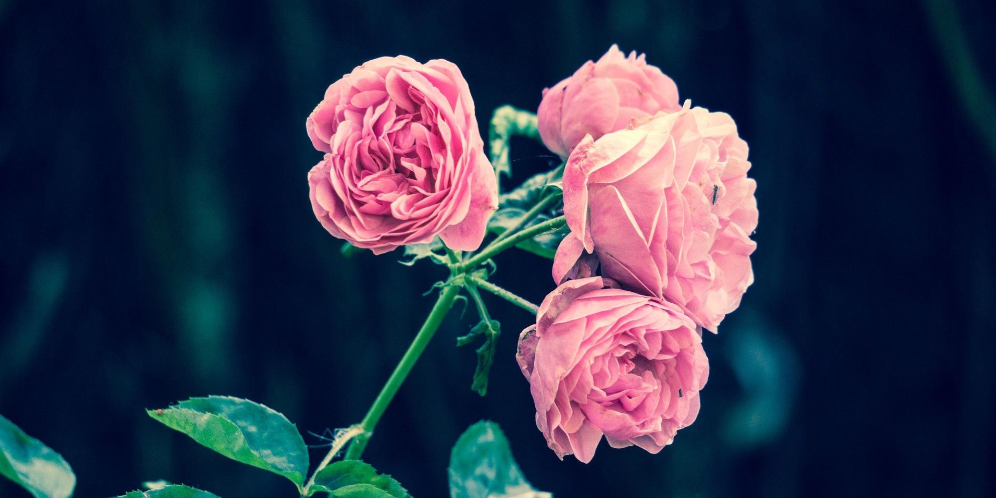 Confit et panna cotta : quand la rose éclot dans votre assiette
