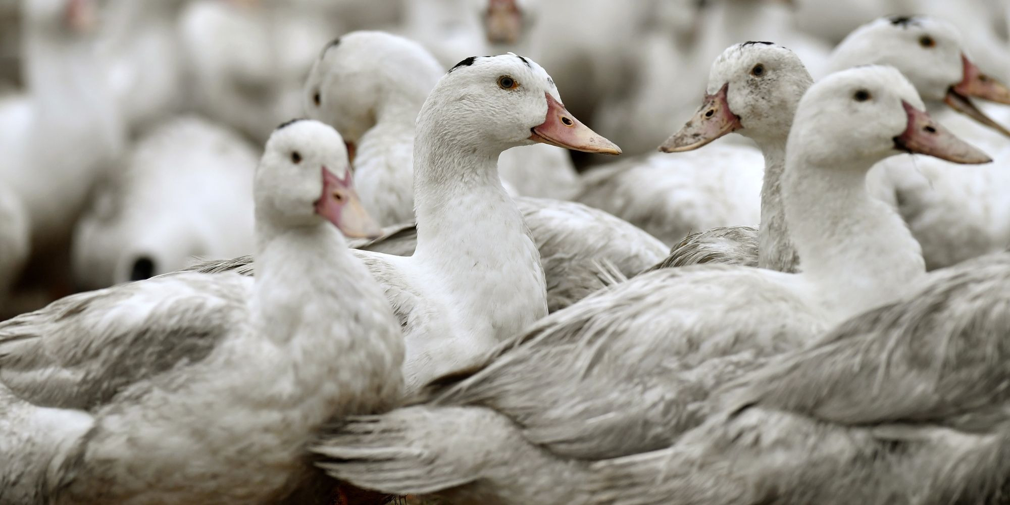 Grippe aviaire : un ...