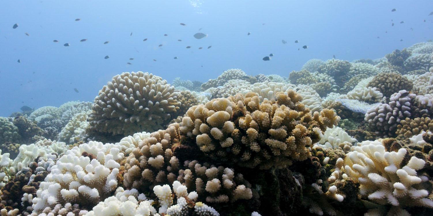 corail polynésien
