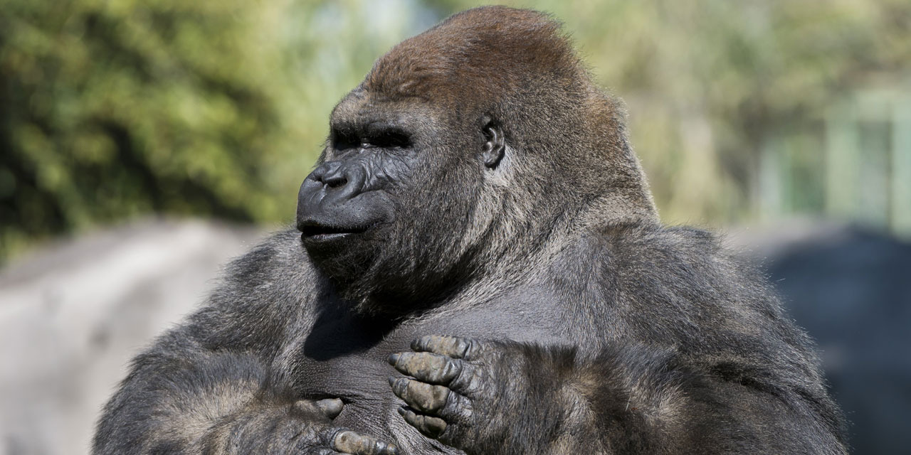 Aux États-Unis, un gorille traité aux anticorps guérit du coronavirus