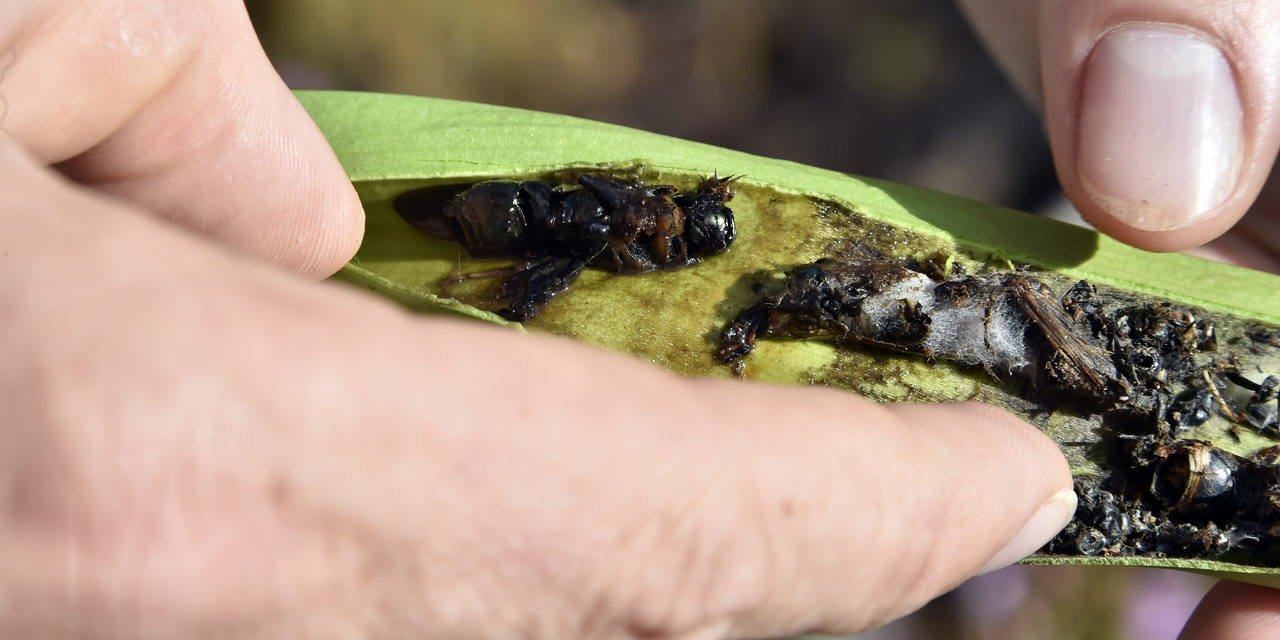 Cette plante carnivore qui mange les frelons asiatiques