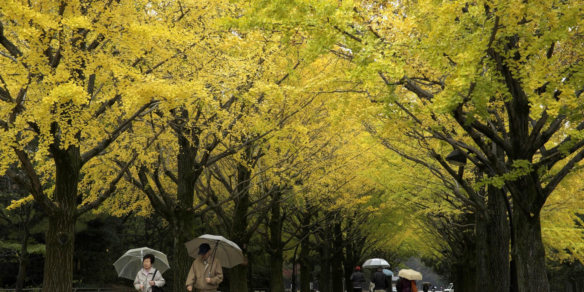 Le Ginkgo biloba, arbre magique, nouvel étendard de la résistance contre le changement climatique ?