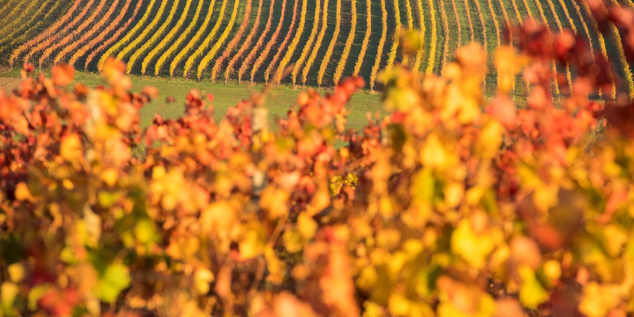 Entre intempéries et canicule, les vignes françaises tirent la langue